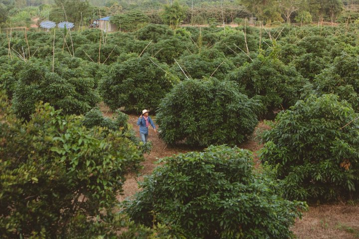 Mr Seng Sokhom inspects his longan orchard in Battambang Province, Cambodia, which is irrigated by a solar pumping system purchased with an affordable loan from the Clean Energy Revolving Fund (CERF).